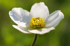 与露滴的白色银莲花属在瓣特写镜头 免版税库存照片