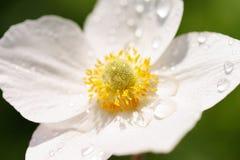 与露滴的白色银莲花属在瓣特写镜头 库存照片