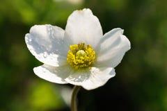 与露滴的白色银莲花属在瓣特写镜头 免版税库存图片