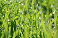 与露水的草 免版税图库摄影