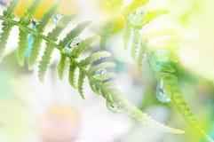 与露滴的蕨 库存图片