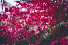 与露滴的蜘蛛网在有明亮色红色秋叶的植物 免版税库存图片