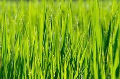 与露水的更加接近的绿色稻田 库存照片