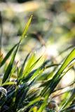 与露水的绿色湿早晨草在刀片 库存图片