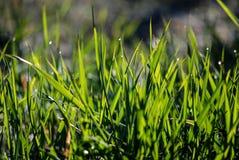 与露水的绿色湿早晨草在刀片 图库摄影