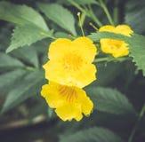 与露滴的黄色花 免版税库存图片