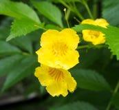 与露滴的黄色花 库存照片