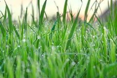 与露滴的绿草在夏天草甸迷离背景 库存照片