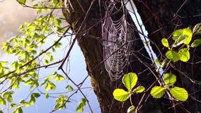 与露水的Spiderweb在与河的分支 影视素材