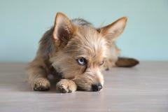 与青斑眼睛的逗人喜爱的混合狗小狗 库存图片