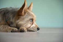 与青斑眼睛的逗人喜爱的混合狗小狗 库存照片