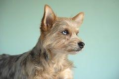 与青斑眼睛的逗人喜爱的混合狗小狗 免版税库存照片
