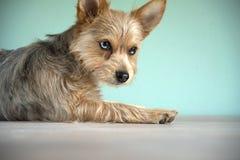 与青斑眼睛的逗人喜爱的混合青斑merle奇瓦瓦狗和约克夏狗小狗 免版税库存照片