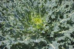 与青绿色颜色和一个黄色核心被仿造的叶子的装饰圆白菜  库存照片