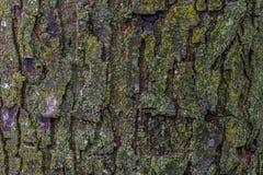 与青苔关闭的槭树吠声 免版税图库摄影