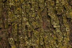 与青苔关闭的槭树吠声 库存图片
