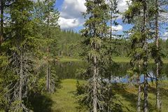 与青苔和地衣的针叶树在北森林湖背景  免版税图库摄影
