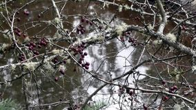 与青苔和小红色莓果的光秃的分支在与流动的水的小河 股票视频