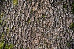 与青苔在根在一个绿色森林里或青苔的树在树干 与绿色青苔的树皮 阿塞拜疆自然 免版税库存照片