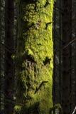 与青苔挪威的树 免版税库存照片