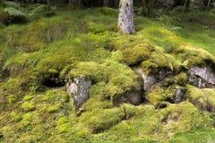 与青苔挪威的树 库存照片