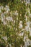 与青苔的一个树干 森林自然纹理 库存图片