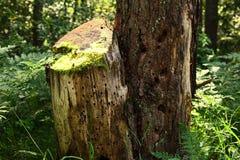 与青苔的干燥树桩在森林里在一个晴天 库存照片