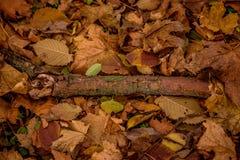 与青苔的弯曲的死的树早午餐在秋季叶子背景  库存图片