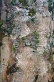 与青苔的抽象树皮背景 免版税库存照片