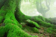 与青苔的树根在森林 免版税库存照片