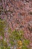 与青苔的树皮纹理 库存图片