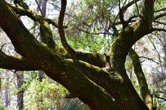 与青苔的橡树 免版税库存照片