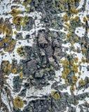 与青苔的白桦树皮背景 库存图片