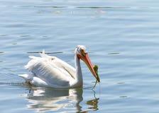 与青苔的白色鹈鹕在大海的票据游泳 图库摄影