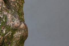 与青苔的结构树 免版税库存图片