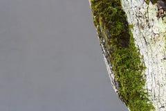 与青苔的结构树 免版税库存照片