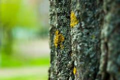 与青苔的老树皮 免版税图库摄影