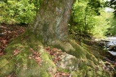 与青苔的老美丽的树 免版税库存照片
