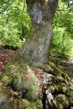 与青苔的老美丽的树 图库摄影