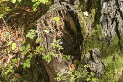 与青苔的腐烂的树干 库存照片