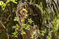 与青苔的腐烂的树干 图库摄影