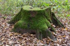 与青苔的腐烂的树桩 库存图片