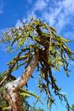 与青苔的高沙漠绿洲树在死的分支 库存照片