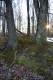 与青苔的2棵树 免版税库存照片
