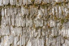 与青苔背景纹理的灰色树皮 库存照片