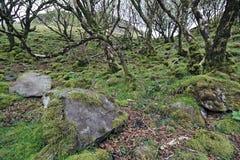 与青苔隐蔽的岩石和弯曲的桦树的树木繁茂的山坡 免版税库存图片