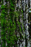 与青苔,背景的杉木吠声 库存图片