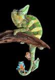 与青蛙朋友的变色蜥蜴 免版税库存照片