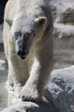 与非常大爪子的走的北极熊  库存图片