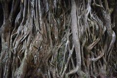 与非常推出在地面上的独特的根的奇怪的热带树 库存照片